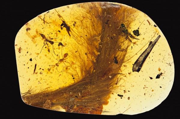 科學家在琥珀中第一次發現了恐龍標本,是一條長約3.85公分的尾巴。(Royal Saskatchewan Museum提供)