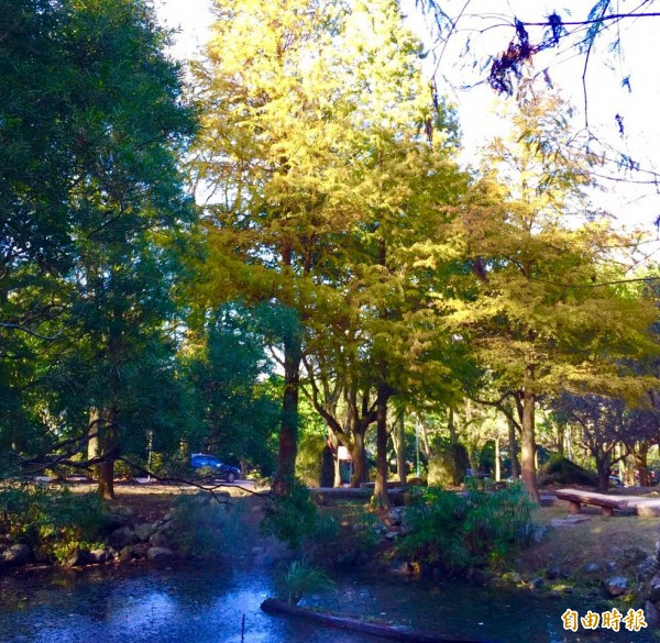 石門水庫溪州公園的落羽松染黃了。(記者李容萍攝)