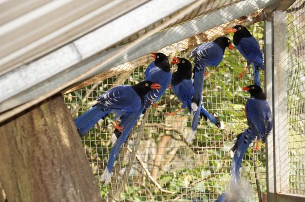 烘爐地福德宮旁呂姓果園主竟豢養了14隻台灣藍鵲。(記者鄭景議翻攝)