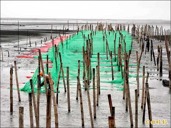 鰻苗季期間,漁民在出海口區域架設網具捕撈。(記者黃淑莉攝)