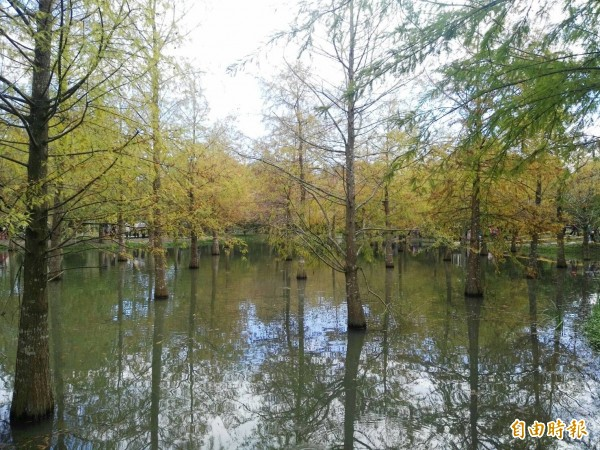 壽豐鄉一處原本屬於園藝公司私有地落羽松,在網友分享下成為爆紅的花蓮秘境新景點。(記者王錦義攝)