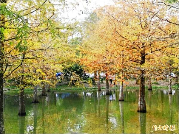 壽豐鄉一處原本屬於園藝公司私有地落羽松,在網友分享下成為爆紅的花蓮秘境新景點。 (記者王錦義攝)