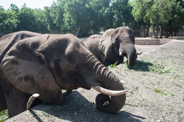 動物學者發現新生非洲象漸沒有象牙,原因為捕殺,導致象牙基因散失。(法新社)