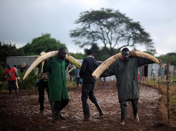 過去十年非洲有1/3的大象被捕殺,已滿足全球象牙市場,導致大象數量快速減少。(法新社)