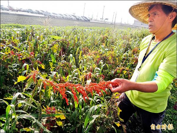 巴清雄將紅藜引進麥寮栽種,透過雜作減少病蟲害。(記者陳燦坤攝)