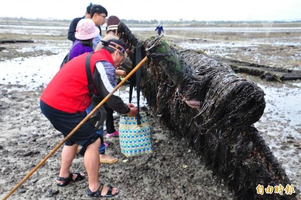 澎湖冬季新玩法,人工紫菜採收體驗。(記者劉禹慶攝)