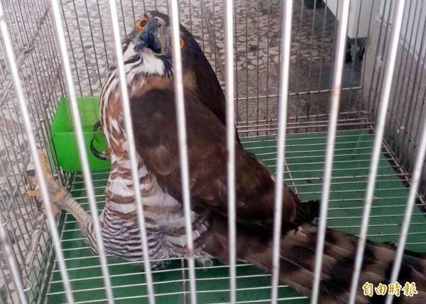 南投縣竹山鎮1隻涉嫌偷吃雞的鳳頭蒼鷹遭農友逮獲並「移送法辦」,因其蓬鬆的尾下覆羽,彷彿包著尿布,鳥友遂給予「包大人」的外號。(記者謝介裕攝)
