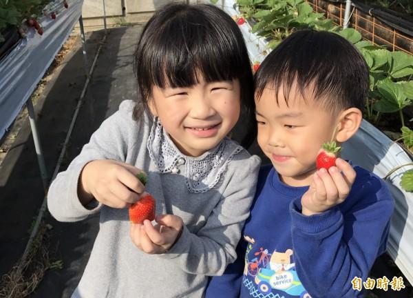 苗栗縣大湖草莓已陸續產出,大湖警分局因應明年元旦連假及農曆春節人潮,進入備戰。(記者彭健禮攝)
