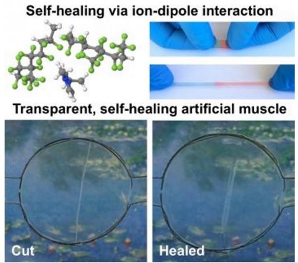 美國加州大學一群科學家們研發出一種新導體,該導體有絕佳的自癒能力,未來可望用在修復醫療設備及人造肌肉的創建上。(圖擷自MINA)