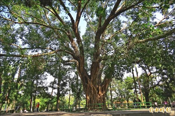 台南公園百年菩提樹,是目前已知全台最大、最老的菩提樹。(記者蔡文居攝)