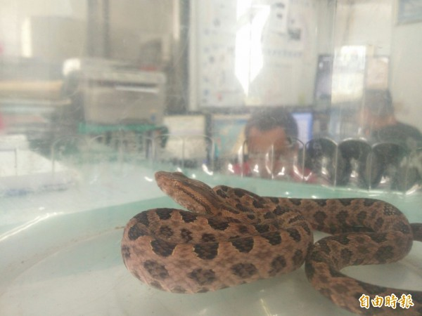 消防員表示該尾龜殼花約30公分,已是成蛇。(記者陳冠備攝)