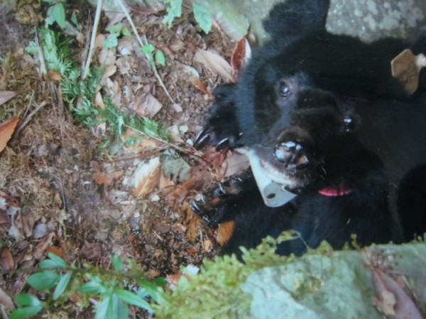 """去年9月在卓溪鄉山區老死、掛有發報頸圈的台灣黑熊,是黃美秀團隊捕捉到、並以阿美語命名""""Kaying""""的母黑熊。(記者花孟璟翻攝)"""