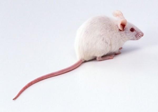 國家實驗研究院自行培育出「MIT」高階實驗鼠,未來將以每隻1至3萬元銷售至東南亞各國。圖為示意圖,與本新聞無關。(圖擷取自網路)
