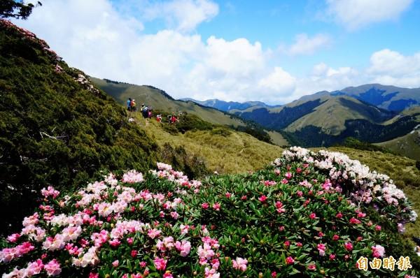 台14甲線合歡山路段在杜鵑花季時吸引大量人潮上山,今年預計將首度啟動交管。(記者張協昇攝)
