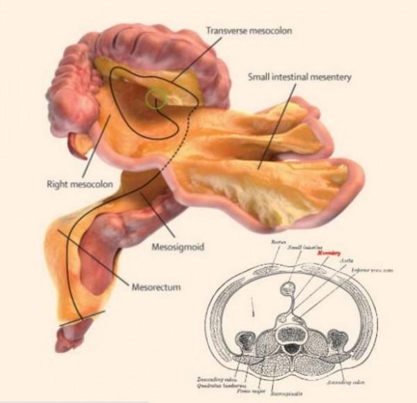 腸系膜過去被視為不重要的人體結構,但一份最新的愛爾蘭醫學研究指出,腸系膜其實是有連續性結構的器官。(圖截自網路)