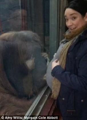 英國艾塞克斯郡的科爾賈斯特動物園的猩猩隔著玻璃親吻準媽媽的肚子。(圖擷取自《每日郵報》)