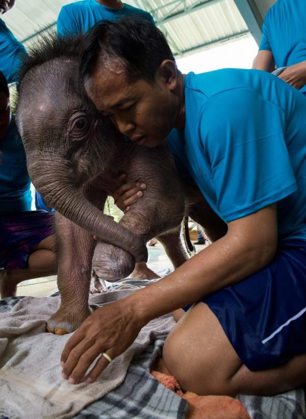 泰國一隻6個月大的小象晴空,因誤踩陷阱受傷,獸醫院讓牠接受水療治療,學習重行自行行走。(法新社)