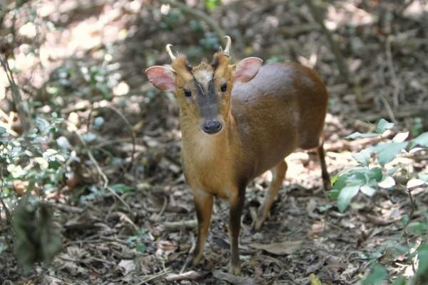 日媒報導,在台灣是保育類動物的山羌,在日本大量野外繁殖。(資料照,壽山國家自然公園籌備處提供)