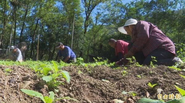 親手栽植無毒蔬菜,曙光農園員工好歡喜。(記者陳賢義攝)