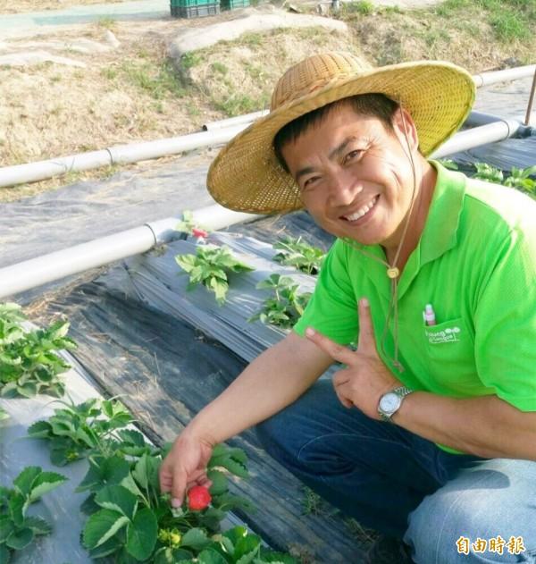 高雄型農黃穩聳主打產銷履歷草莓,今年產量供不應求。(記者陳文嬋攝)