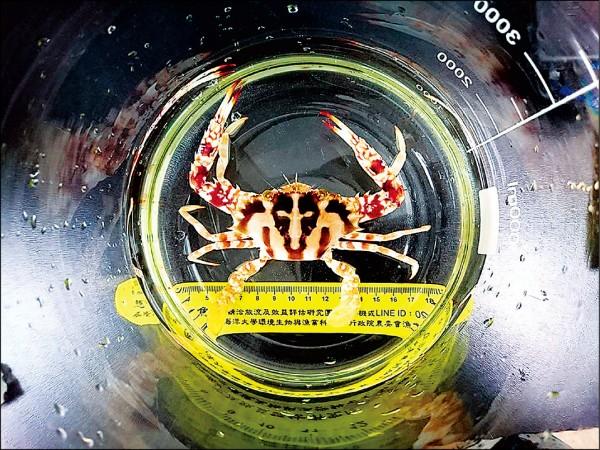 新北市農業局與萬里區漁會、國立台灣海洋大學合作,研發花蟹人工養殖技術,培育出甲殼寬約7.5公分的種苗。(新北市農業局提供)