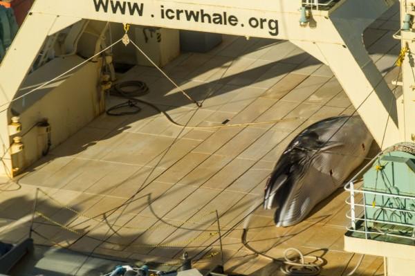 日本漁船偷補鯨,被動保團體拍到。(法新社)