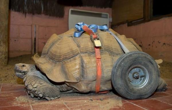 蘇卡達象龜因太頻繁的交配,後肢出現腫脹,之後更演變成關節炎,需要依靠輔助輪幫助行走。(圖擷取自《鏡報》)