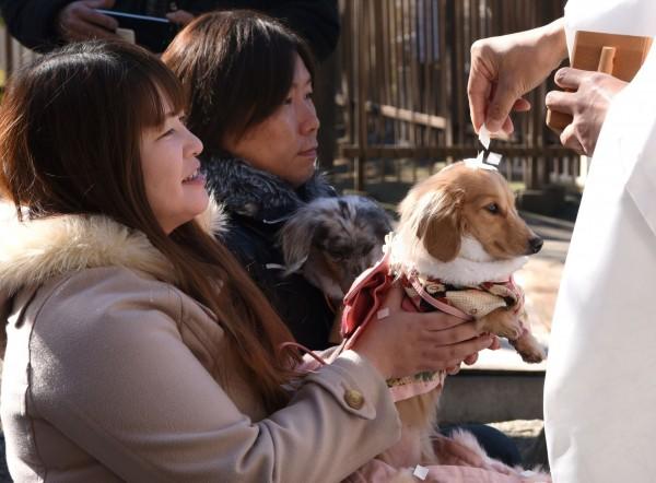 日本東京的市谷龜岡八幡宮推出專為寵物舉行的新年祈福儀式,吸引許多疼愛寵物的飼主前來參拜。(法新社)