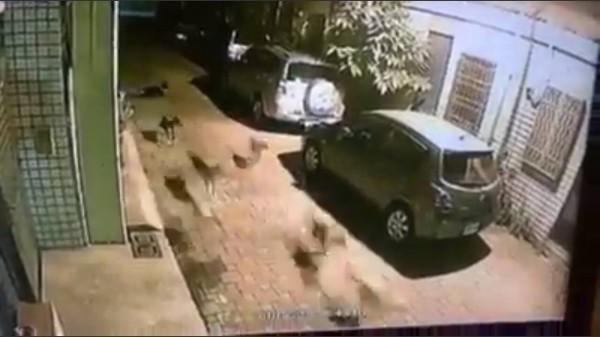 群狗獵貓行動,監視器全都露。(記者蔡清華翻攝)