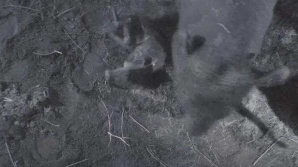 小象生下後,母象轉過身踢沙為了刺激小象站立。(圖擷取自youtube)
