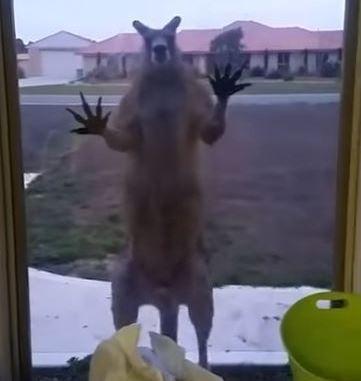 (擷取自YouTube)這隻袋鼠頻頻以雙爪擊向落地窗,嚇得女屋主花容失色。