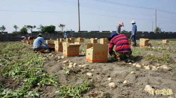 雲林縣斗南地區馬鈴薯受暖冬與晚疫病影響,產量減少2至3成。(記者林國攝)