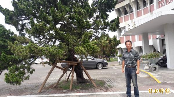 台東高中行政大樓前的龍柏在去年尼伯特倒伏後被扶正。(記者黃明堂攝)