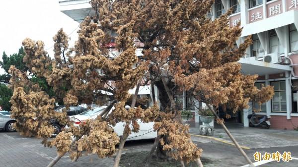 台東高中行政大樓前的龍柏被東北季風吹搖徵變枯黃,校方重立支架。(記者黃明堂攝)