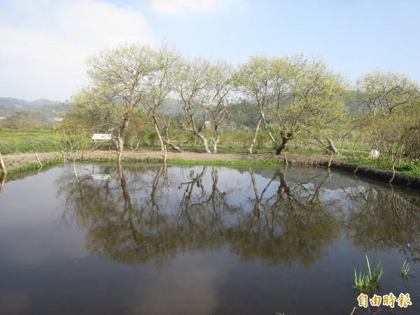 日月潭旁的頭社農村復育瀕絕的特有種「水社柳」,十年前僅剩十棵的植株,至今仍被完整保留。(記者劉濱銓攝)
