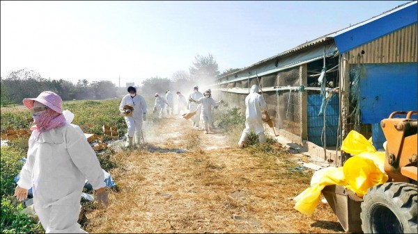 雲林縣動植物防疫所人員昨天在台西一處養雞場撲殺染禽流感雞隻。(雲林縣府提供)