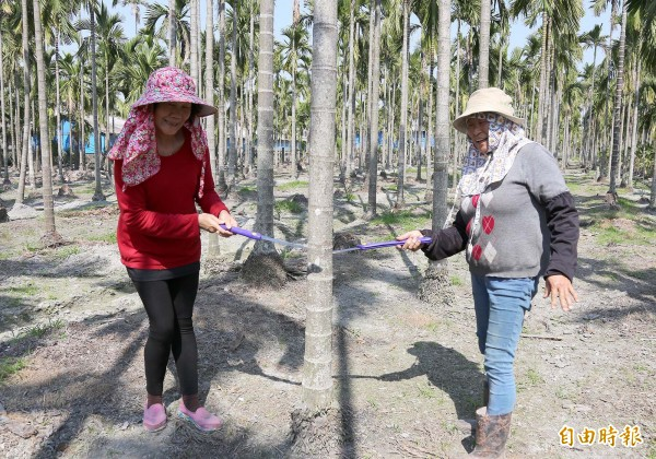 在竹田鄉種植檳榔逾30年的農友林珍妹、賴麗明說,因農委會把平地檳榔納入廢園補助,她們打算廢園。(記者邱芷柔攝)