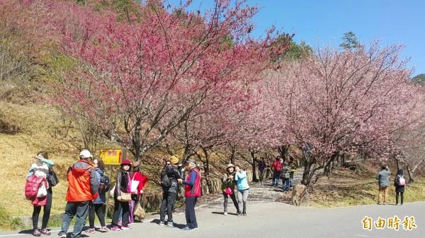武陵農場櫻花盛開,吸引遊客上山賞櫻。(資料照,記者歐素美攝)