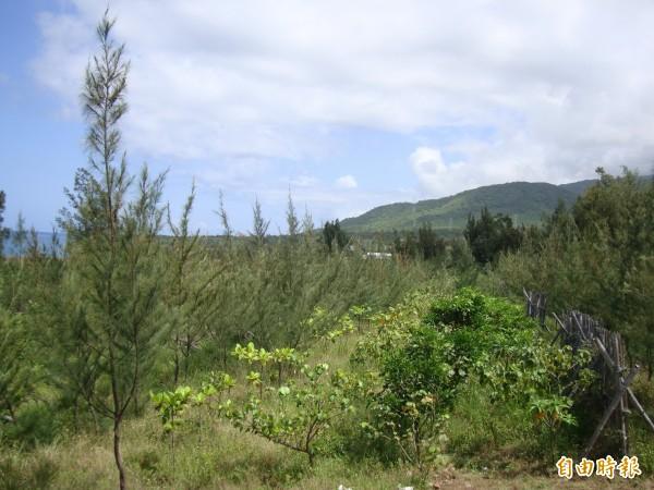 銀合歡入侵的林地經移除後,造林效果不錯。(記者蔡宗憲攝)
