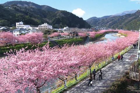 全鎮被8000棵櫻花樹包圍的河津,走在這裡就像在畫中場景般。(圖擷取自河津櫻花觀光網)