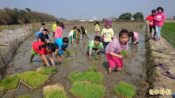 新東國小種稻課程,學生下田種植台南16號秧苗,看來有模有樣。(記者楊金城攝)