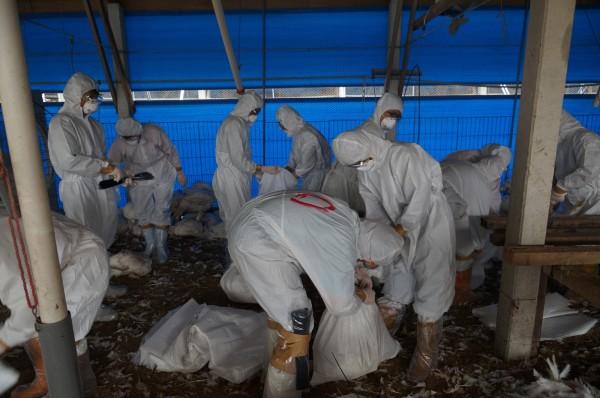 台南下營火雞場確診H5N2,今進行全場撲殺。(記者楊金城翻攝)