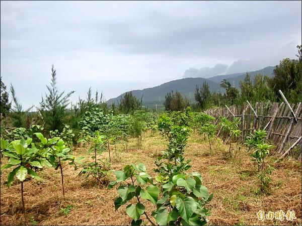 銀合歡入侵的林地經移除後造林效果不錯。 (記者蔡宗憲攝)