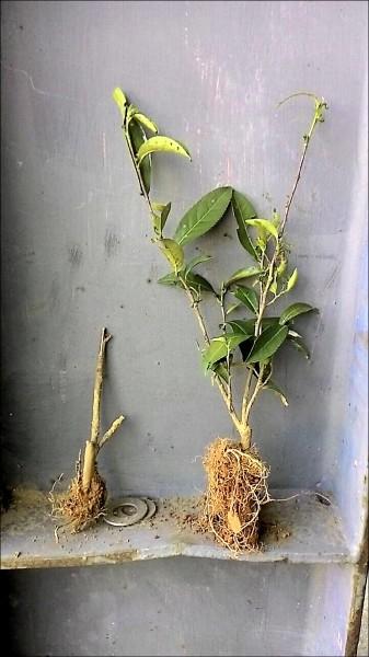 土壤優化前的茶樹苗(左)與土壤優化後的茶樹苗(右)生長情形有天壤之別。(圖由客委會提供)