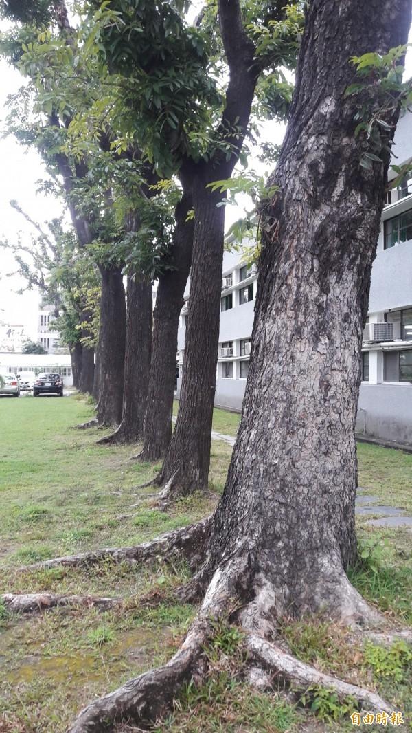 台東高商的桃花心木樹林。(記者黃明堂攝)