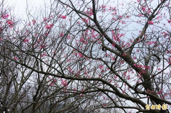 陽明公園將於2月25日舉辦花見野餐活動。(記者黃建豪攝)
