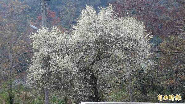清泉派出所前的梅樹,正值開花時節,十分美麗。(記者廖雪茹攝)