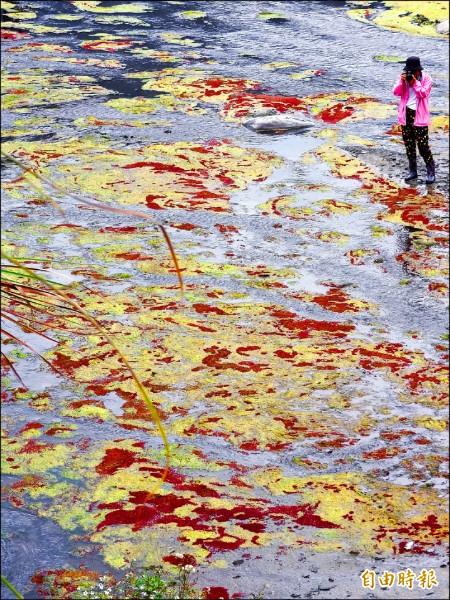 濁水溪的「滿江紅」美景吸引攝影玩家、遊客前來取景朝聖。(記者佟振國攝)