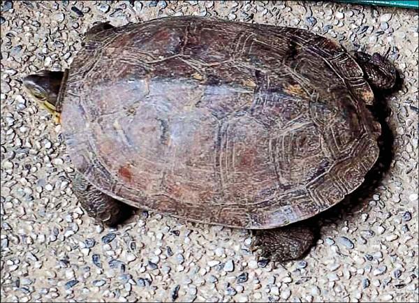 齊柏林家中飼養的柴棺龜。(資料照,記者劉慶侯翻攝)