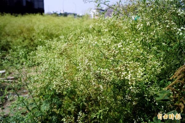 銀膠菊外觀和滿天星相似,全株有毒,有「國際毒草」之稱。(記者張菁雅攝)